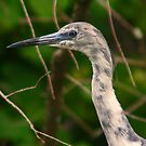 Immature little blue heron-blue and white phase by jozi1
