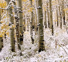 Aspen Grove In Early Winter Snow by David Kocherhans