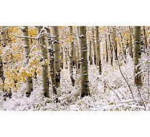 Aspen Grove In Early Winter Snow Photographic Print