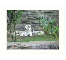 white tigers Art Print