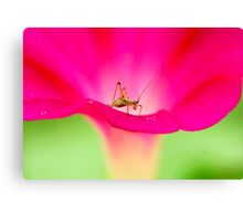 attracting by pink Canvas Print