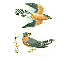 Fan-tailed cuckoo Photographic Print
