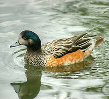 Chiloe Widgeon by VoluntaryRanger