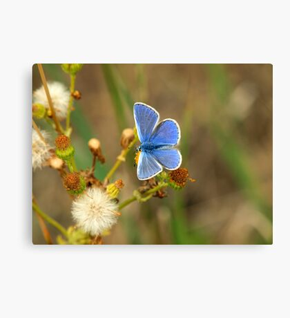 Male Common Blue (Polyommatis icarus) Canvas Print