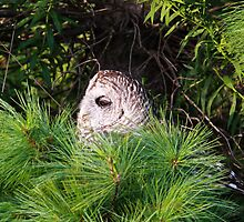 Barred owl in pine tree by Robert Kelch, M.D.