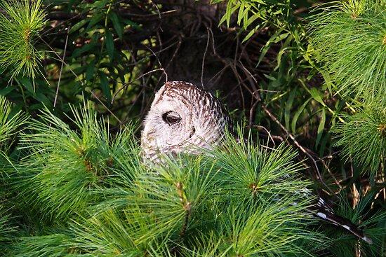 Barred owl in pine tree by Robert Kelch, M.D.