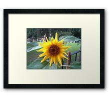 NEW BORN SUNFLOWER Framed Print