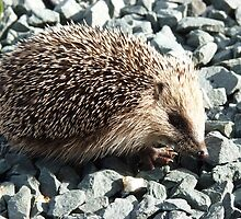A young European Hedgehog by Robert Gipson