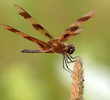 Dragon Fly by Jellybean720