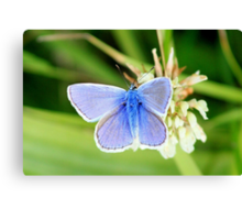 Common blue - Polyommatus icarus Canvas Print