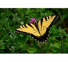 Tiger Swallowtail 2 Photographic Print