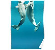 Beluga Whales Poster