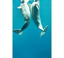 Beluga Whales Photographic Print