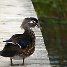 Duck on a Dock by Carole Brunet