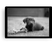 Chocolate Lab - Molly Canvas Print