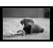 Chocolate Lab - Molly Photographic Print