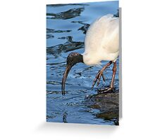 Ibis Drinking Greeting Card