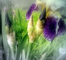 Raindrops on Purple Irises #4 by Dawna Morton