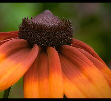 Echinacea's Indian summer by Wanda Dumas