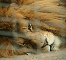 Caged Lion by FaithAmor