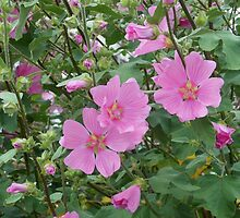 Delicate Pink Hibiscus Blossoms  by BlueMoonRose