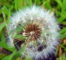 The last Dandelion by Cassie Jahn