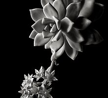 Sedum # 2 in Black and White by Endre