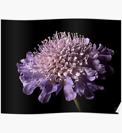 Scabiosa Butterfly Blue Poster
