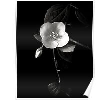 Philadelphus in Black and White Poster
