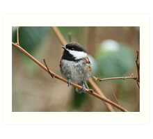 Chestnut backed Chickadee  Art Print
