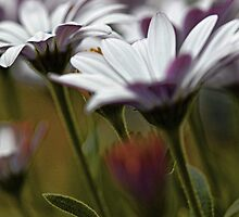 African Daisies in the Summer Breeze by T.J. Martin