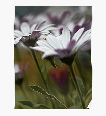 African Daisies in the Summer Breeze Poster