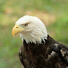 American Eagle by ZeeZeeshots