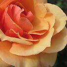 rose II by Sherry Freeman