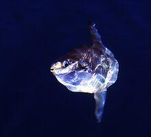 Ocean sunfish (Mola mola) by Johan Larson