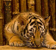 Bengal Baby by TeresaB