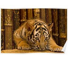 Bengal Baby Poster