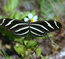 Zebra Longwing Butterfly by RebeccaBlackman