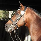 Jive Magic 2008 Dutch warmblood stallion portrait 1 by Jaycee2009