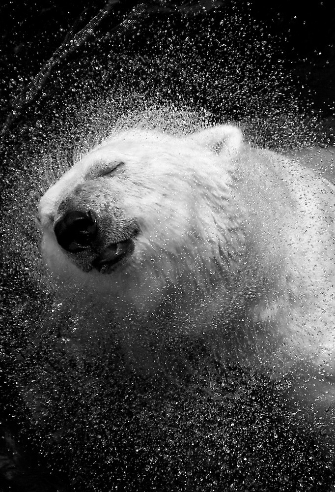 Polar Bear in Central Park Zoo NYC by Sandy Taylor