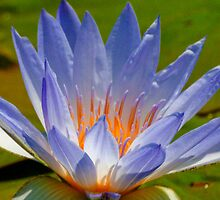 Water Lily by Jarede Schmetterer