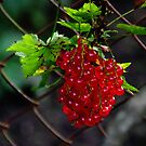 Red currants by Bluesrose