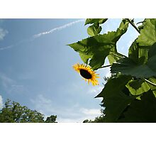 Skyscape with Sunflower Photographic Print