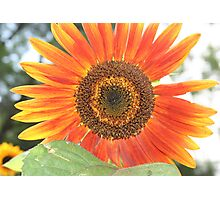 Red Sunflower Photographic Print