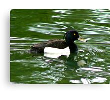 Tufted Duck (Aythya Fuligula) Canvas Print