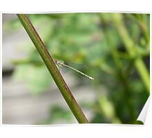Small dragonfly sitting on a plant Poster