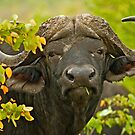 African Buffalo (Syncerus caffer) by Konstantinos Arvanitopoulos