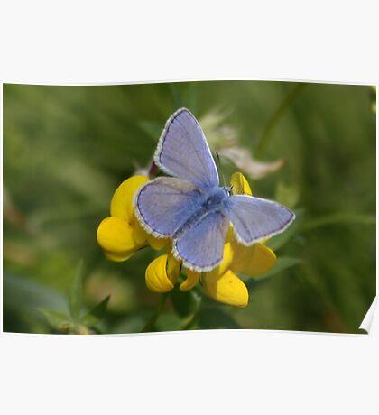Male Common Blue Butterfly on Birdsfoot Trefoil Poster