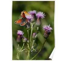 Small Copper pair Poster