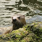 Otter Checking the Coast is Clear by MendipBlue